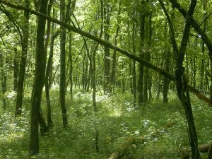 Grønn skog